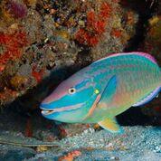 Parrotfish_Blue_Heron_Bridge